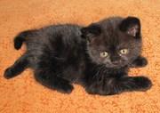 Британские котята черного окраса - продажа в Брянске