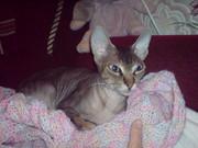 Донского сфинкса кошечку