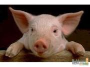 Охлажден.  мясо (свинина,  говядина)