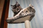 Котята мейн-куны. Шоу-класса под разведение и домашние любимцы