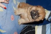 Продам щенков чау-чау