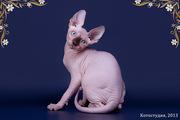Питомник продаёт элитных котят.