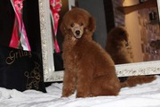 Пуделя малого красного щенок